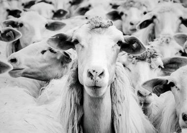 Sheeps_Regroup.agency
